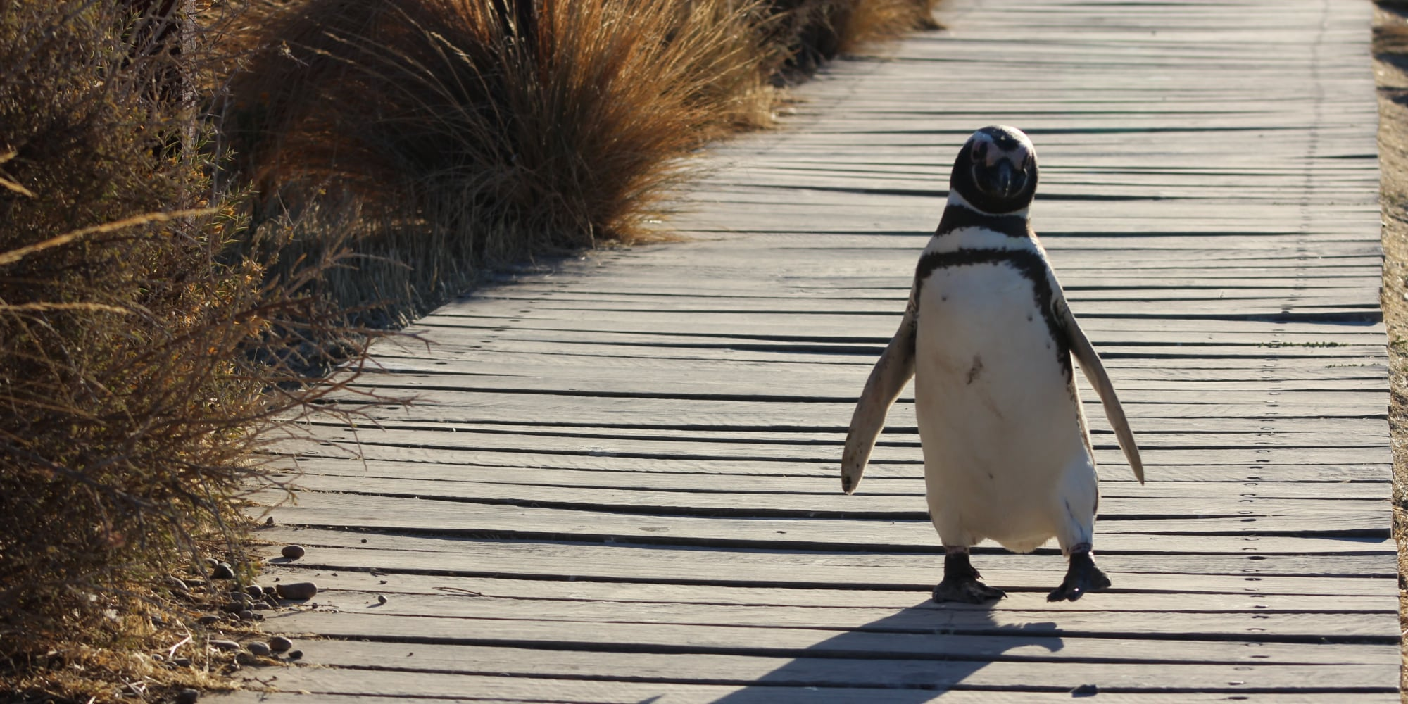 The Galapagos penguin always stays cool