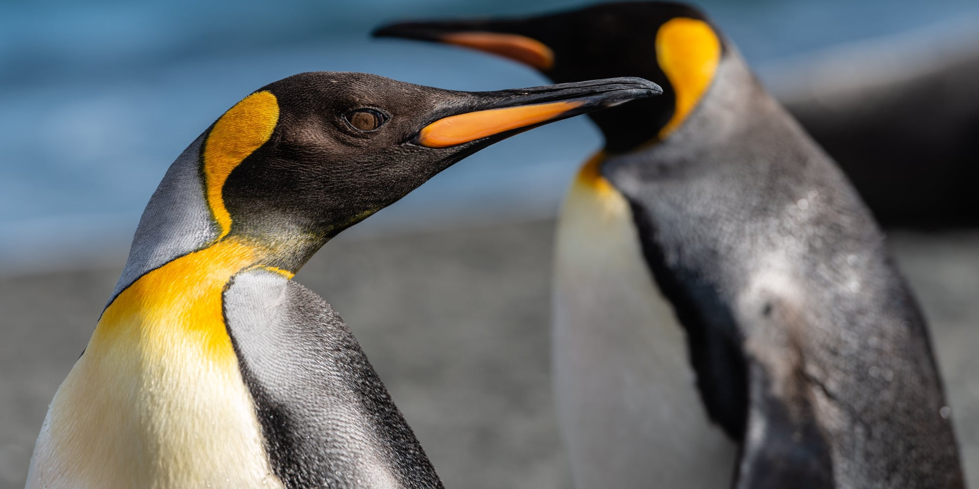 The Emperor penguin is an awesome swimmer