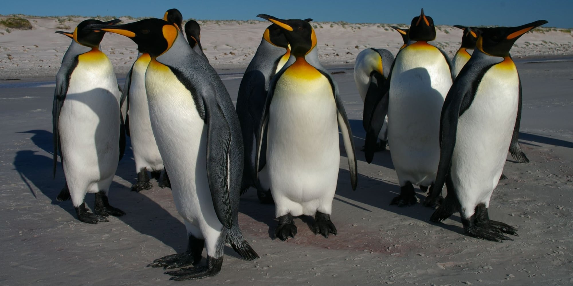 The King Penguin is a Big Deal