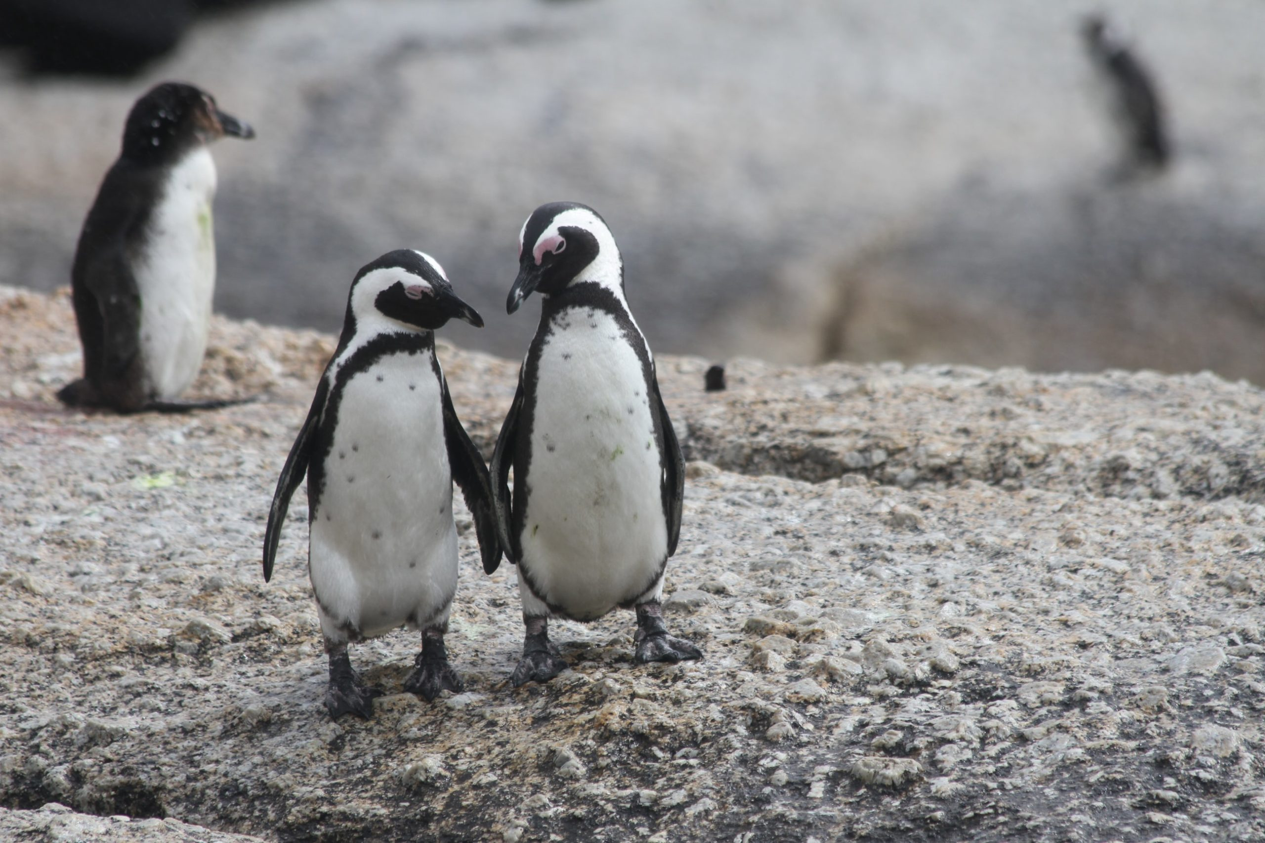 Today is National Penguin Day